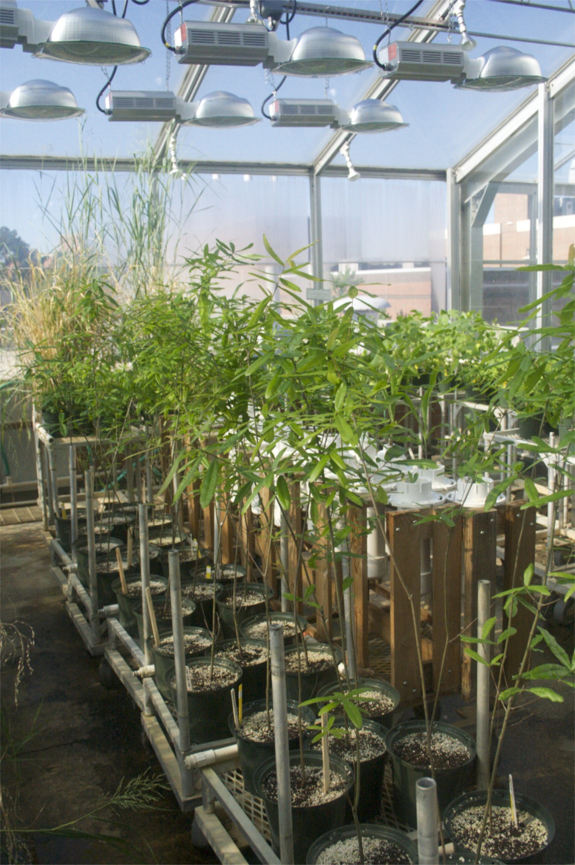 Experimental trees in the NCSU Phytotron greenhouse
