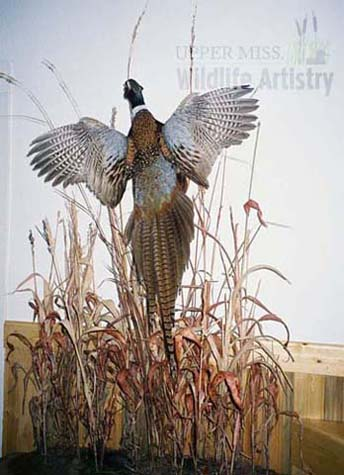 birds_pheasant_environment.jpg