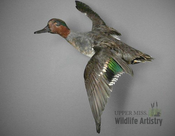birds_greenwinged_teal.jpg