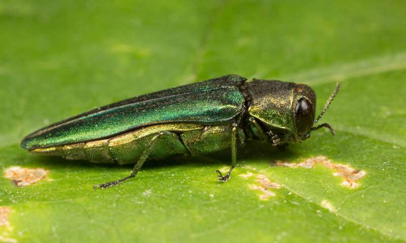 Maine officials are enlisting the public's help in identifying the emerald ash borer, seen here. (University of Maine photo)
