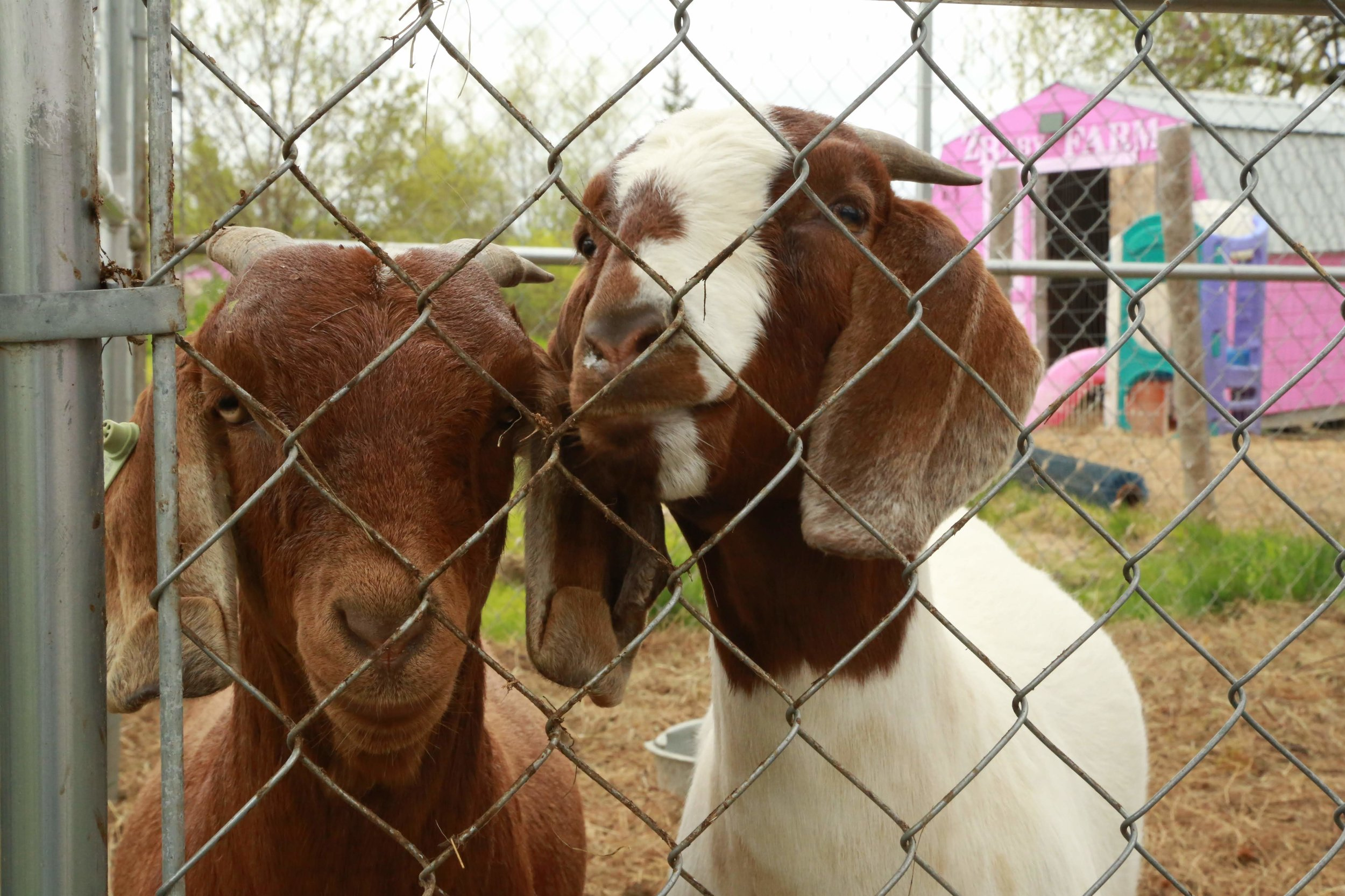 Goats at Lots of Tots in Princeton.