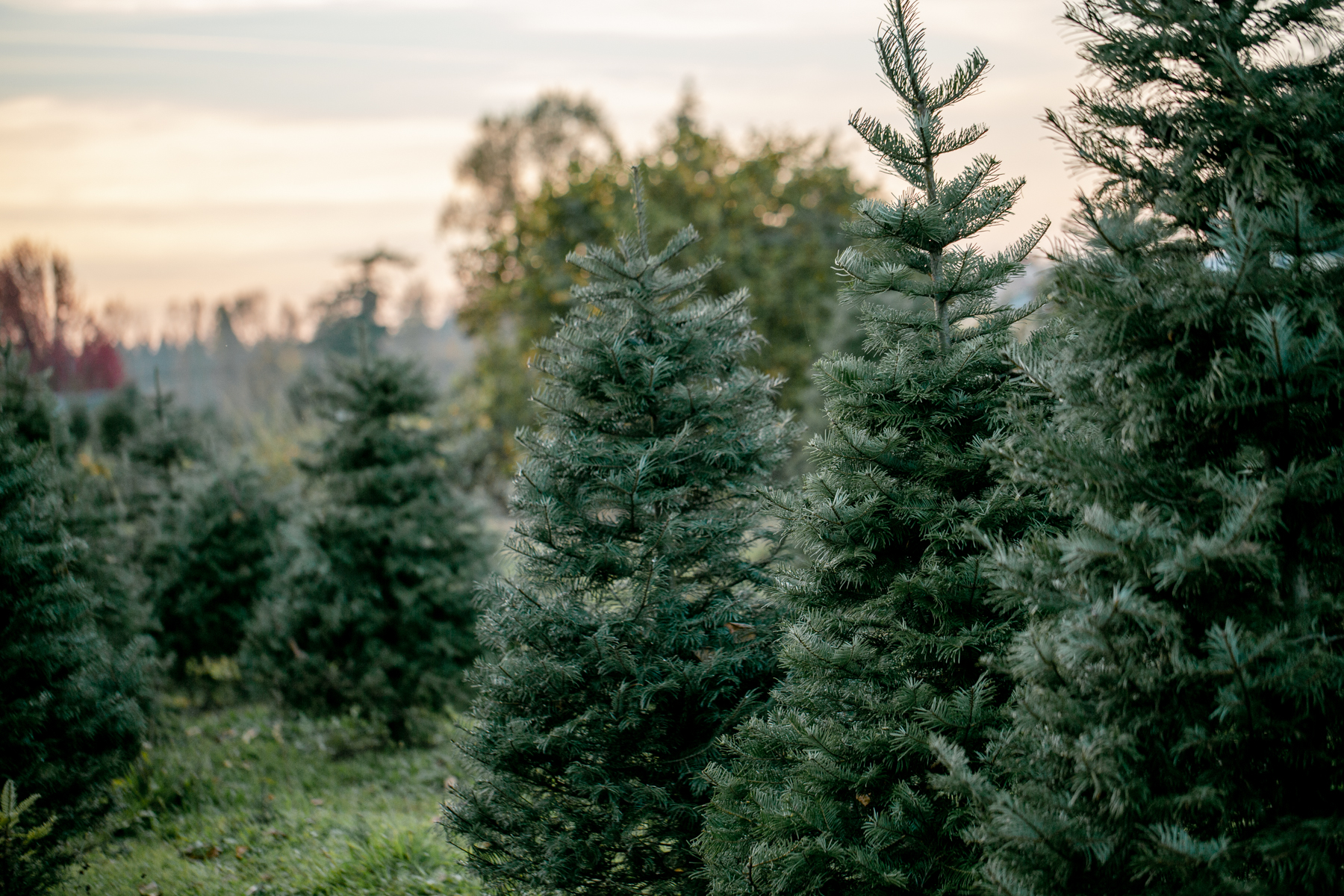 treefarm_18.jpg