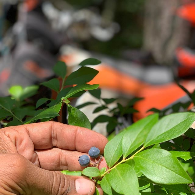 Some blueberry snacks off the vine for a mid-ride treat! #trailriding #ktm #dirtbikes #rydersalley