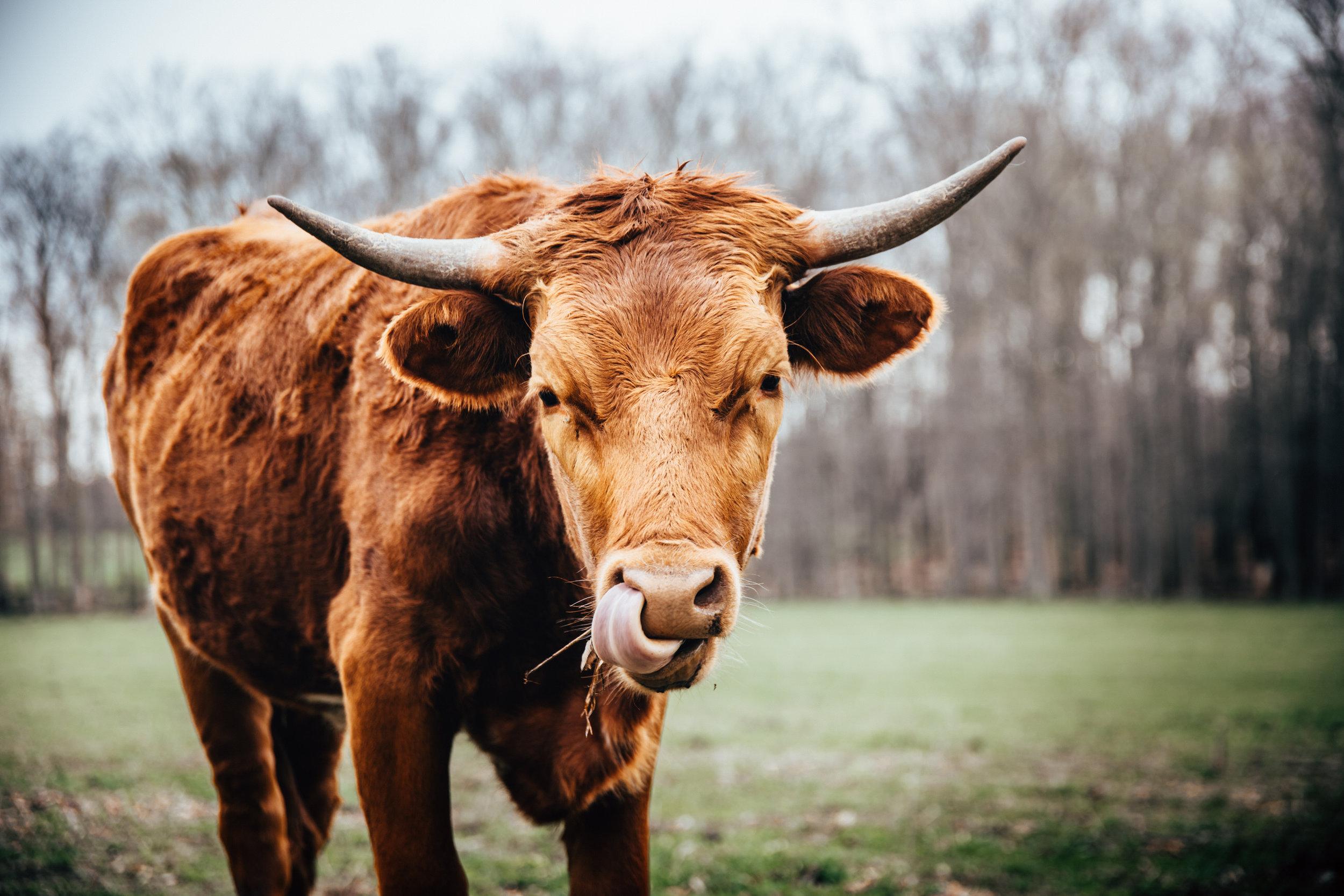©TonyaMerkePhotography_Cattle-9.jpg