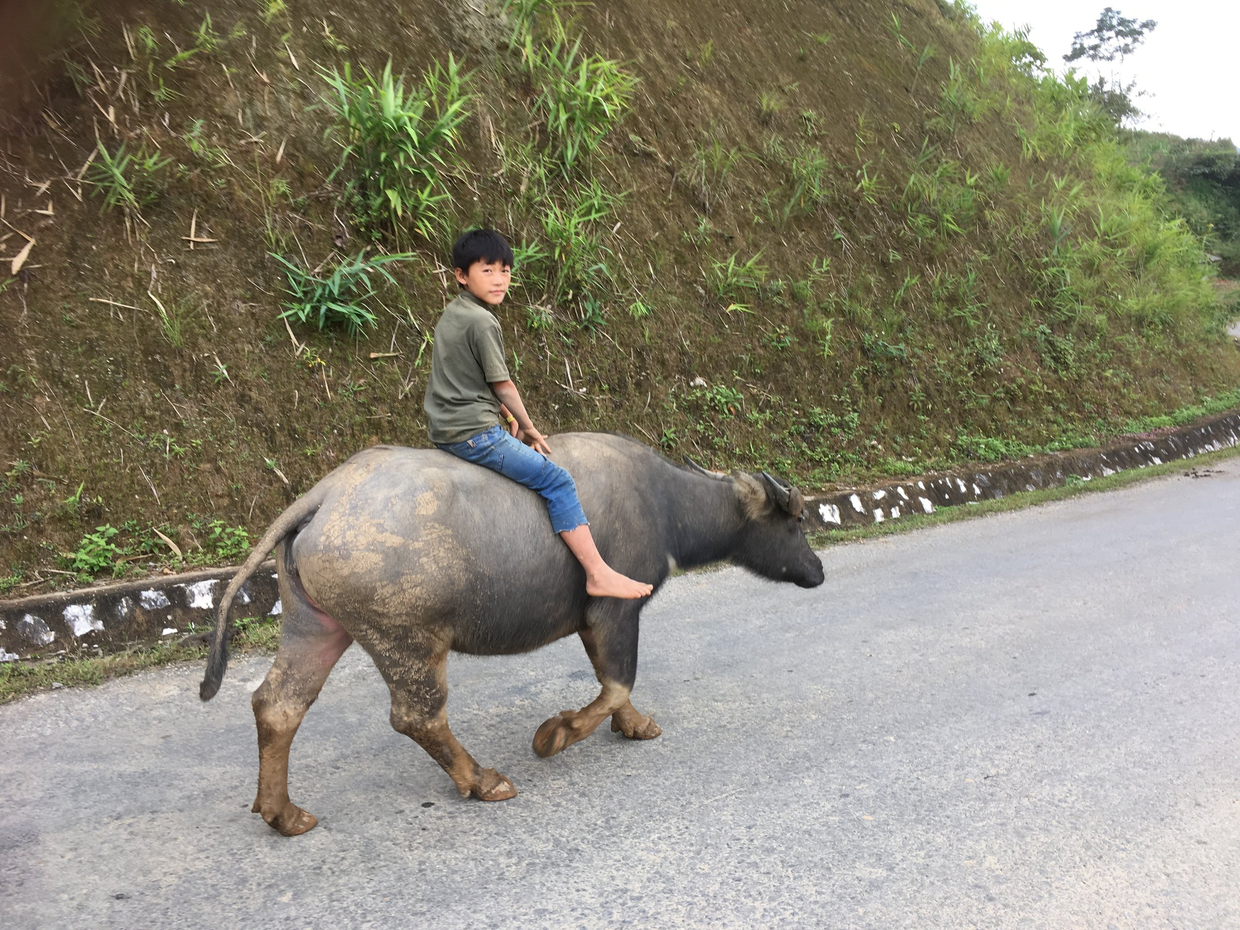 Young boy taking his bullock home
