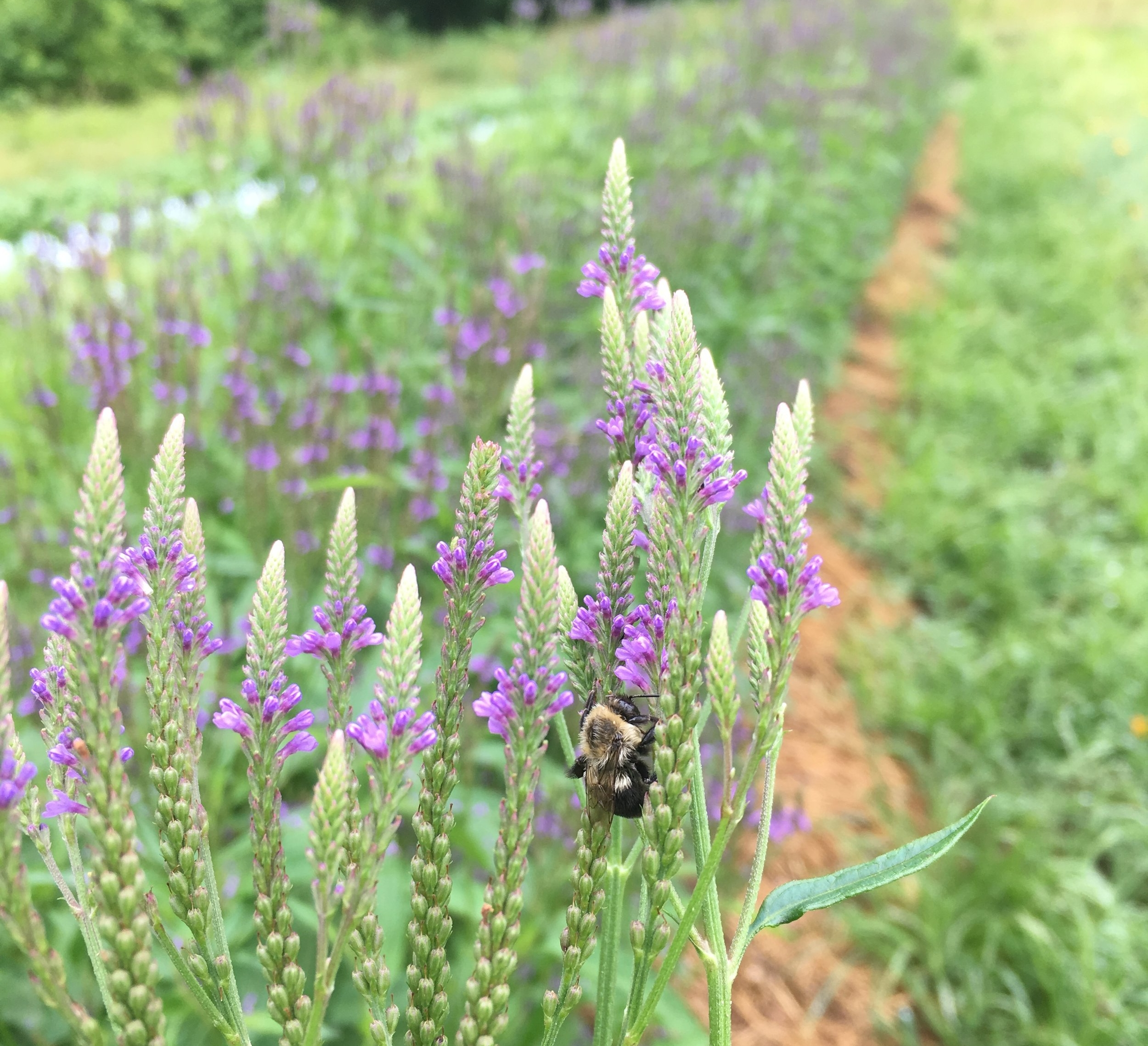 The bees love our herbs & we love the bees