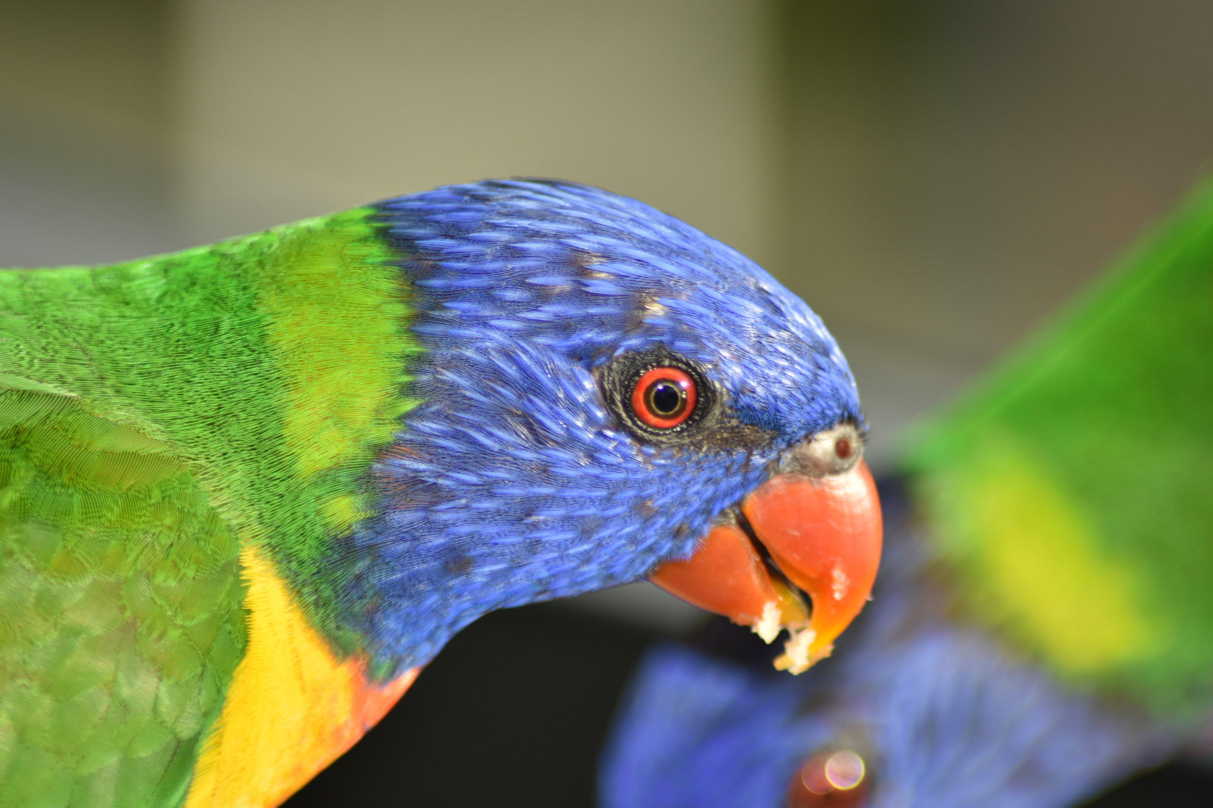 Lorikeet friends.JPG
