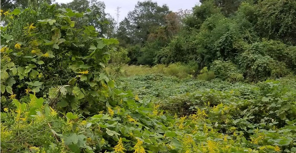 Kudzu smothering habitat and suppressing native plant growth. Covington County, AL.   Image by Jody Thompson