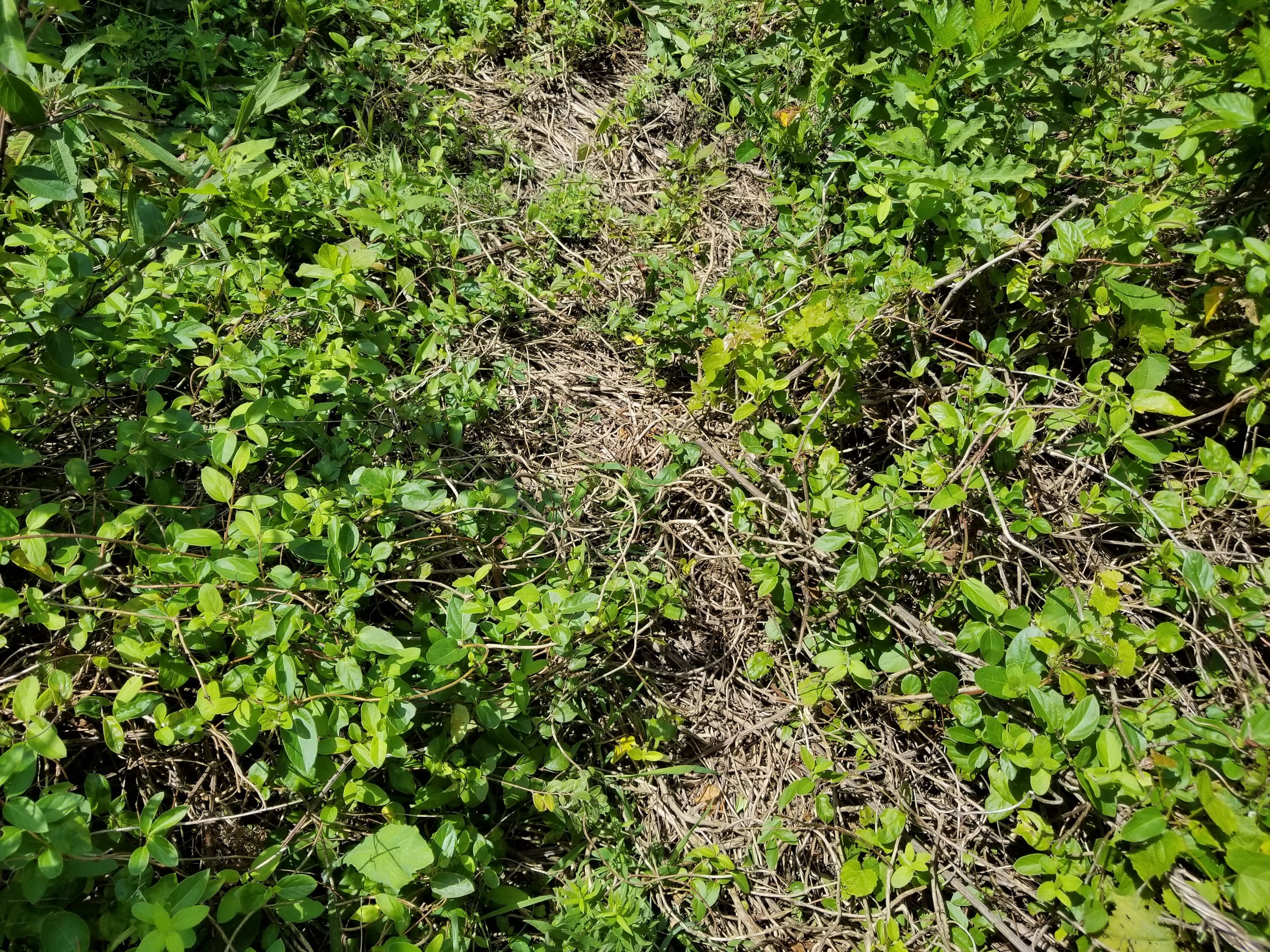 Japanese honeysuckle creating a barrier to native plant growth in an old field. Franklin County, KY.   Image by Jody Thompson