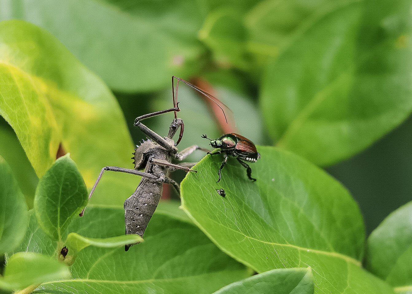 Wheel bug stalking a Japanese beetle.  Image by Jody Thompson.