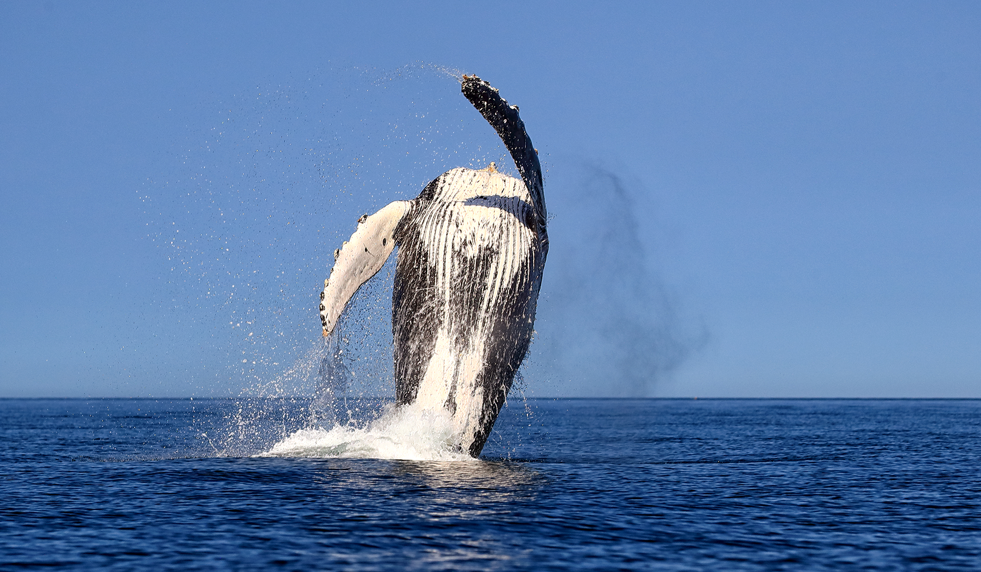 Whale-breaching.png