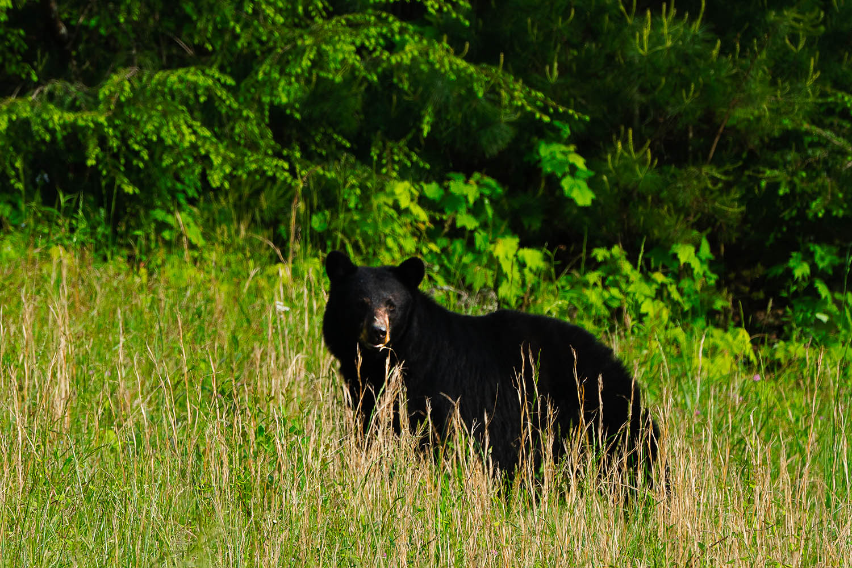 cades cove black bear wildlife photo