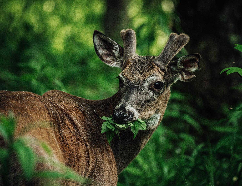 cades cove deer wildlife photography