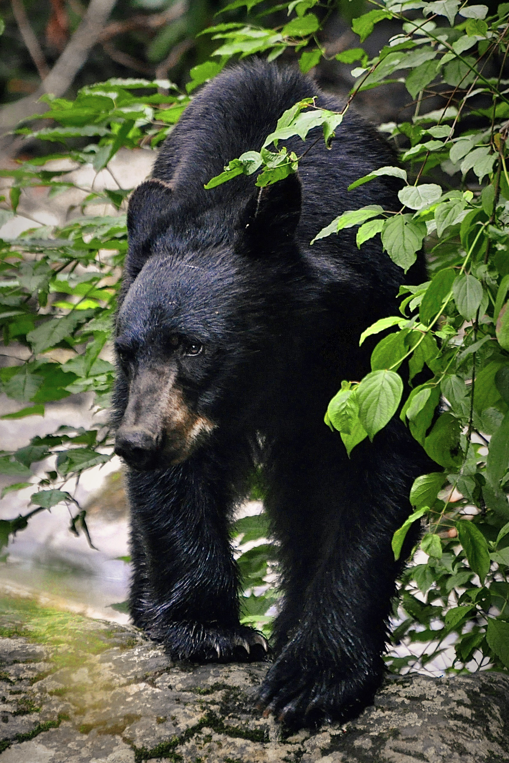 cades cove bear matt.jpg