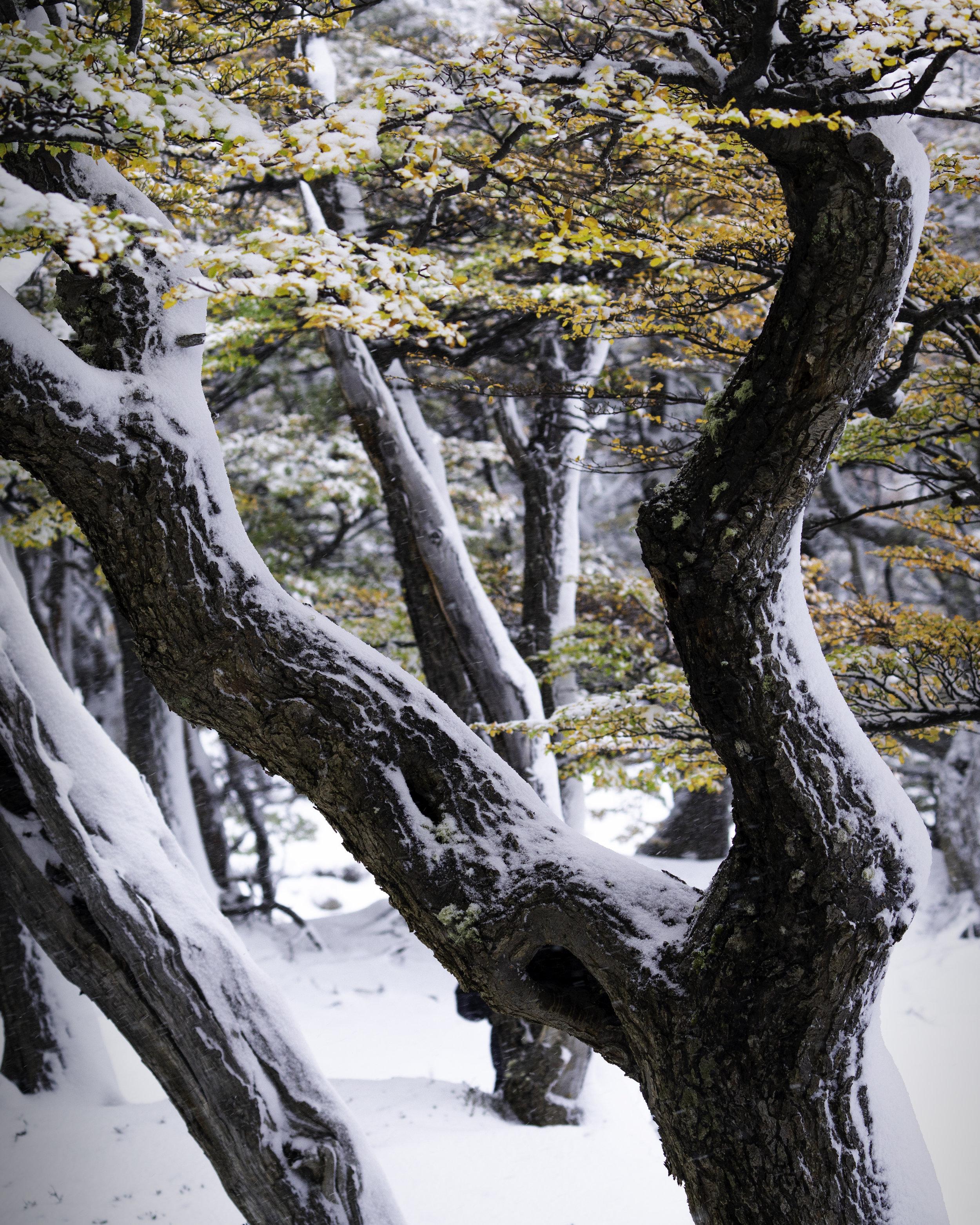 snow forest.jpg