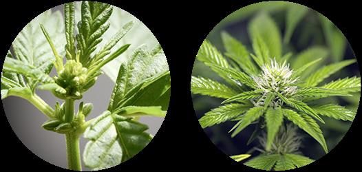 Cannabis+Pre-flower+Flower.png