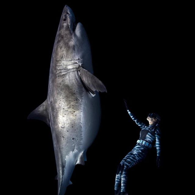 """A repost from ❤️@oceanramsey CallToAction This breaks my heart, please #helpsavesharks I LOVE this shark, she was one of the most amazing individual beings I've ever met, it makes my whole being sick to see the headlines in the images please swipe, a 22ft pregnant white shark was just killed of Taiwan and her pups (babies) cut out of her. I've dedicated my life to speaking up for them but to make the change, to gain the protection they need and deserve they need YOUR voice too. Please help to ban finning and shark fishing in your home or nearest waters or write to these fishermen in China. My call to action is for the sharks like this """"Grandma Great White"""" in Hawaii, right now there is a bill (bills become laws if supported enough) to ban the purposeful killing of sharks and rays in Hawaii. Please send an email to the senators listed on HelpSaveSharks.Org (Link in @waterinspired bio) urging them to schedule the bill before the deadline. Please don't let sharks like this disappear, wasteful killing doesn't just happen in China and Taiwan, it's happening around the world at a rate that averages out to 70,000,000-100,000,000 sharks being killed every year! Just for a wasteful toxic status symbol bowl of soup, or for sport or further decimation of their populations 💔 Please take action today and make your voice count for those without a voice #save sharks #savetheocean Incredible shark, incredible best moment of my life, incredible photo by @camgrantphotography incredible infographic by @undovr diving with my @oneoceandiving ohana team #sharkconservation #sharkresearch #hawaiigreatwhite #sharksinhawaii #hawaii #shark #greatwhite #savesharksinhawaii #taiwangreatwhite #greatwhiteshark #savethegreatwhiteshark #whiteshark #oceanramsey #oneocean"""