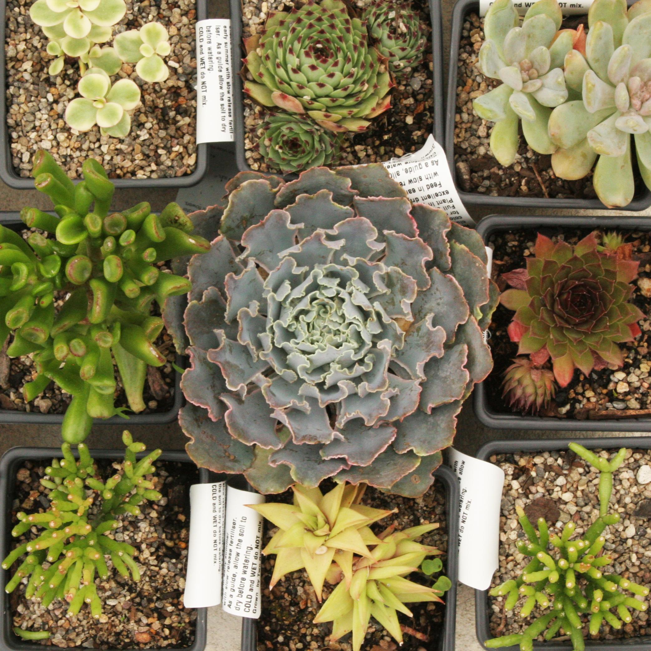 6cm Succulents4 for $20 -