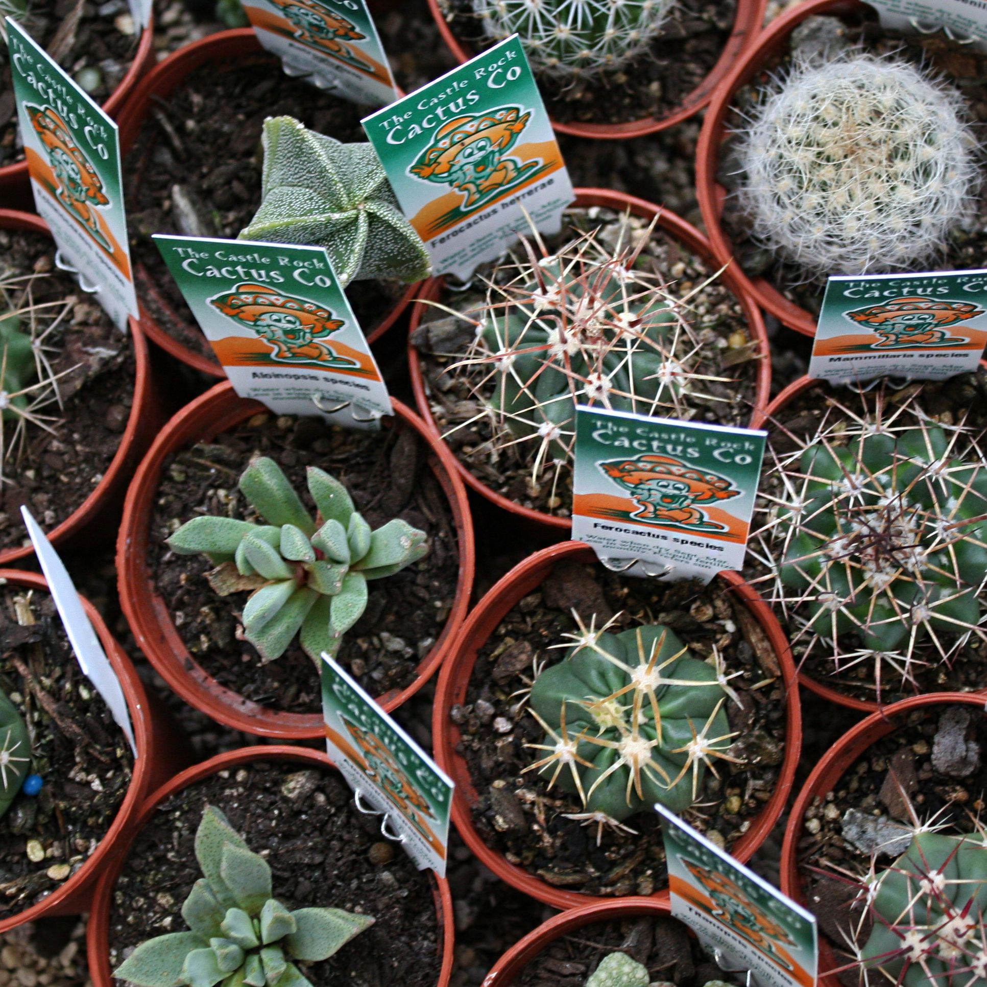 Baby Cacti (6cm)3 for $13.50 -