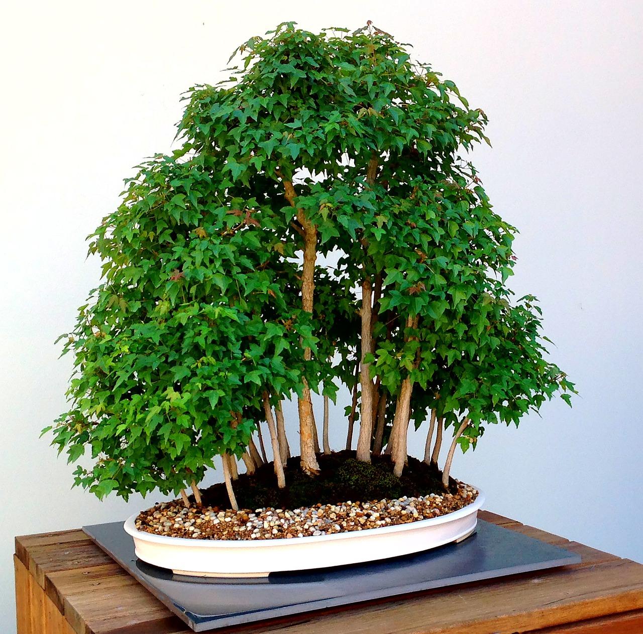 bonsai-1134685_1280.jpg