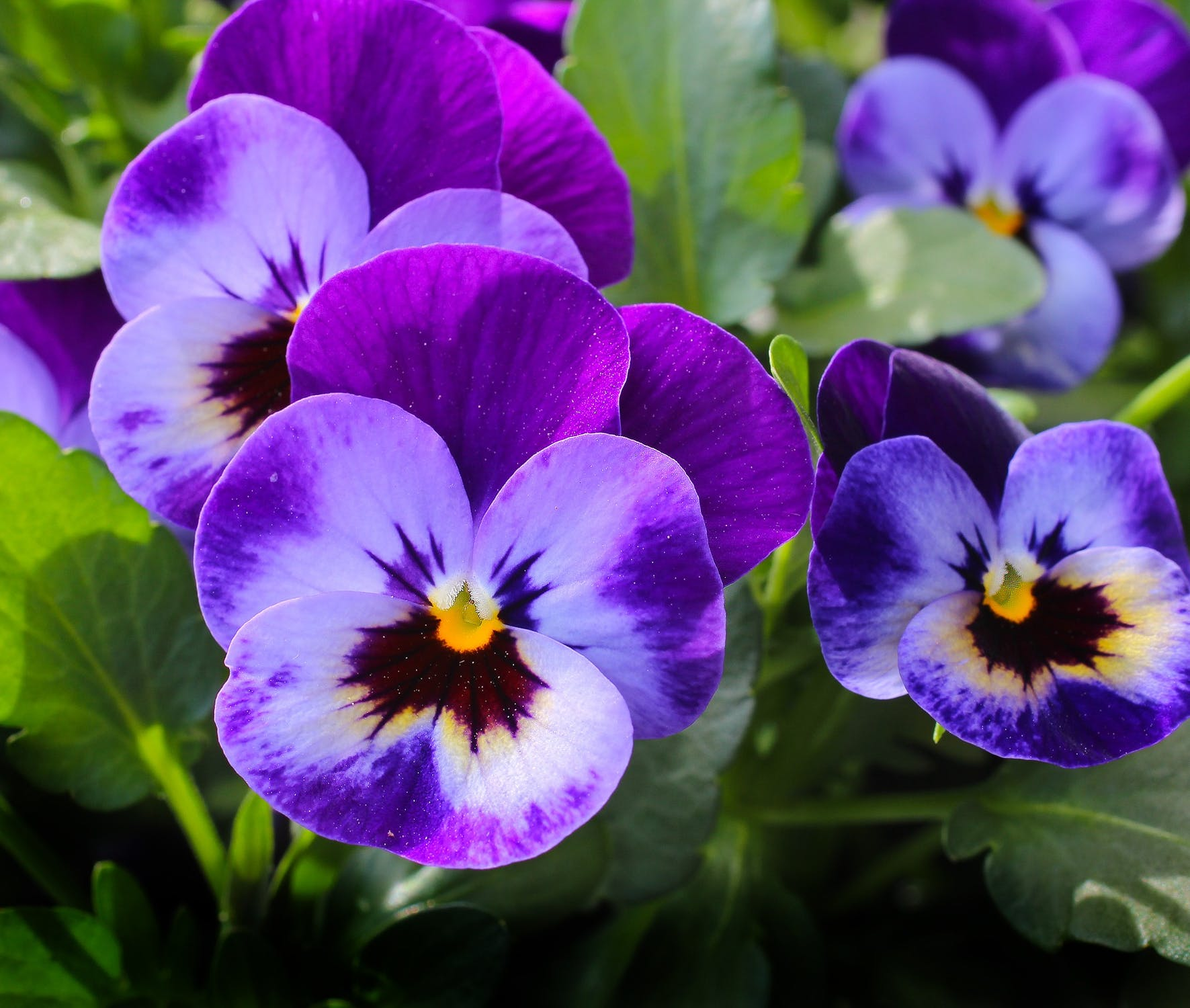 pansy-flowers-plant-nature-57394.jpeg