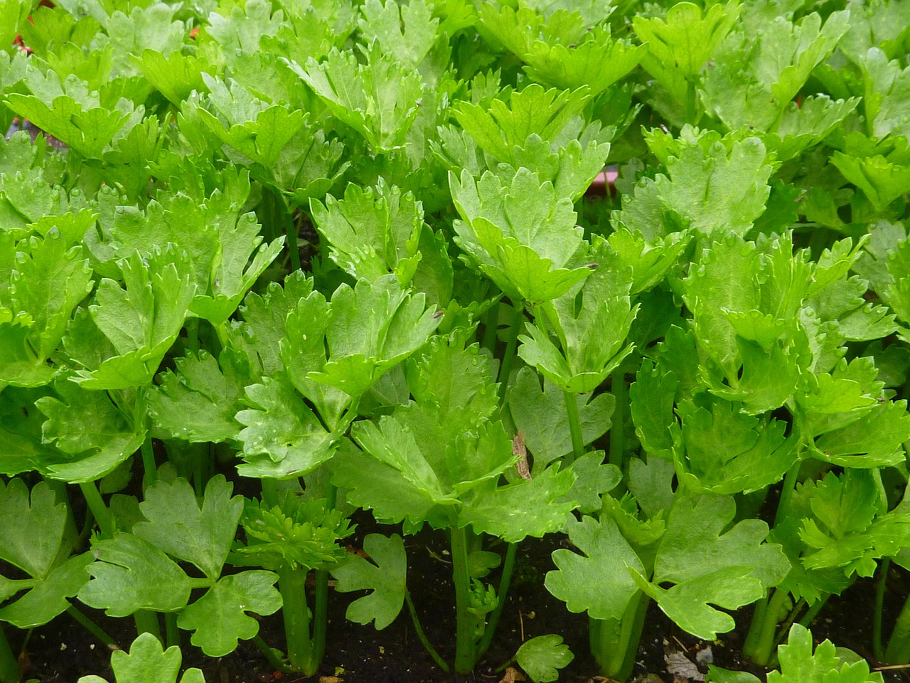 celery-639899_1280.jpg