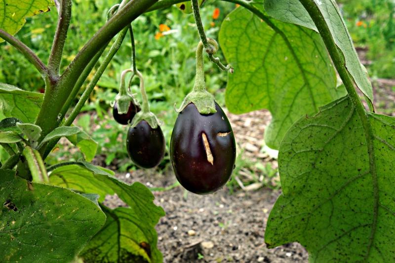 eggplant-1491949_1920 (800x533).jpg