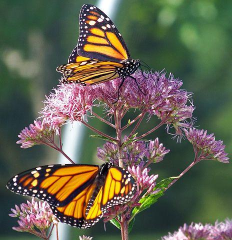 butterfly-18364__480.jpg