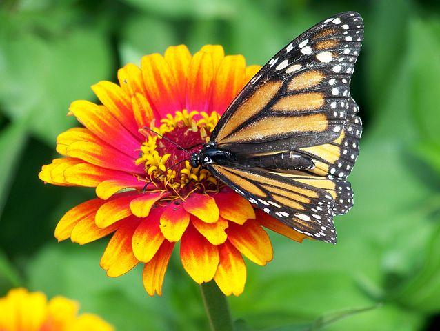 monarch-18140__480.jpg