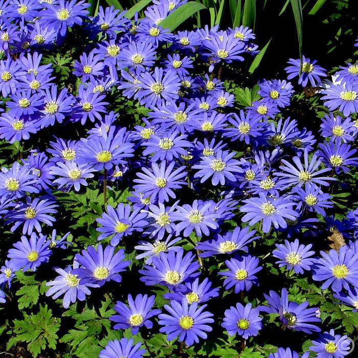 Blanda Blue Meadow