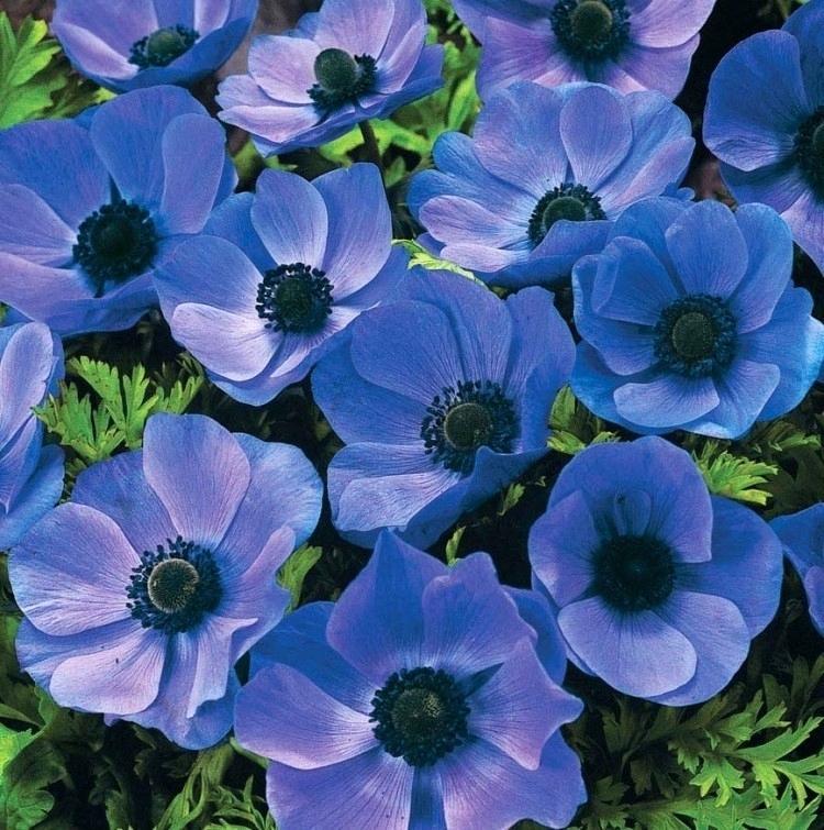 Anemone Blue Poppy