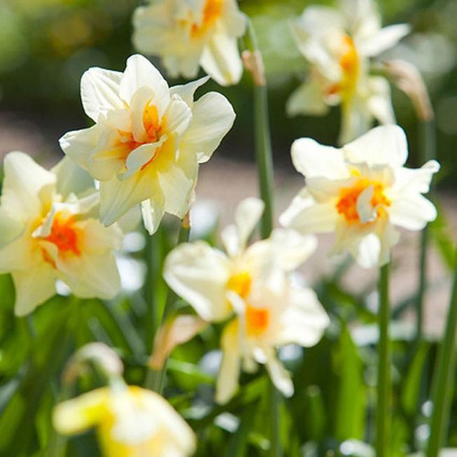 Daffodil Double Rhodo