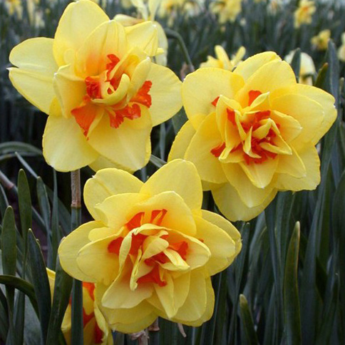 Daffodil Double Tahiti