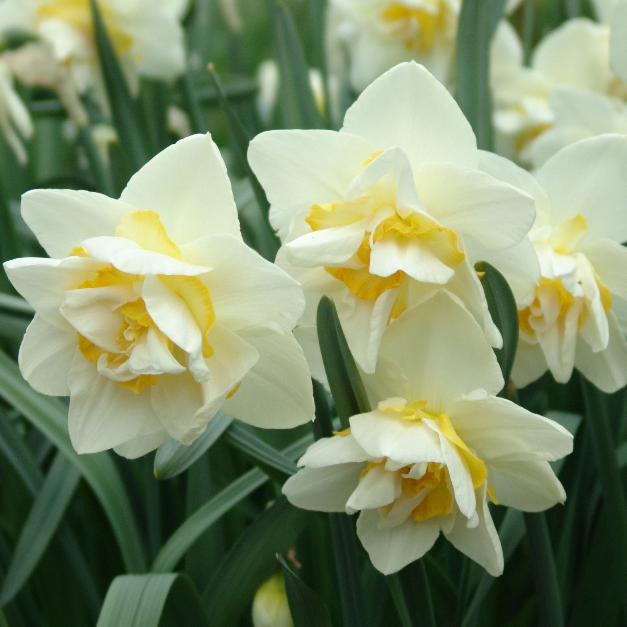 Daffodil Double White Lion