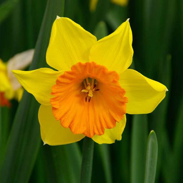 Daffodil Love Day