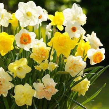 Daffodil Scented Mix