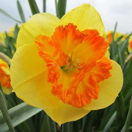 Daffodil Split Corona Berlin