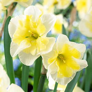 Daffodil Split Corona Smiling Twin
