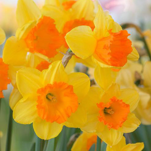 Daffodil Sunflower