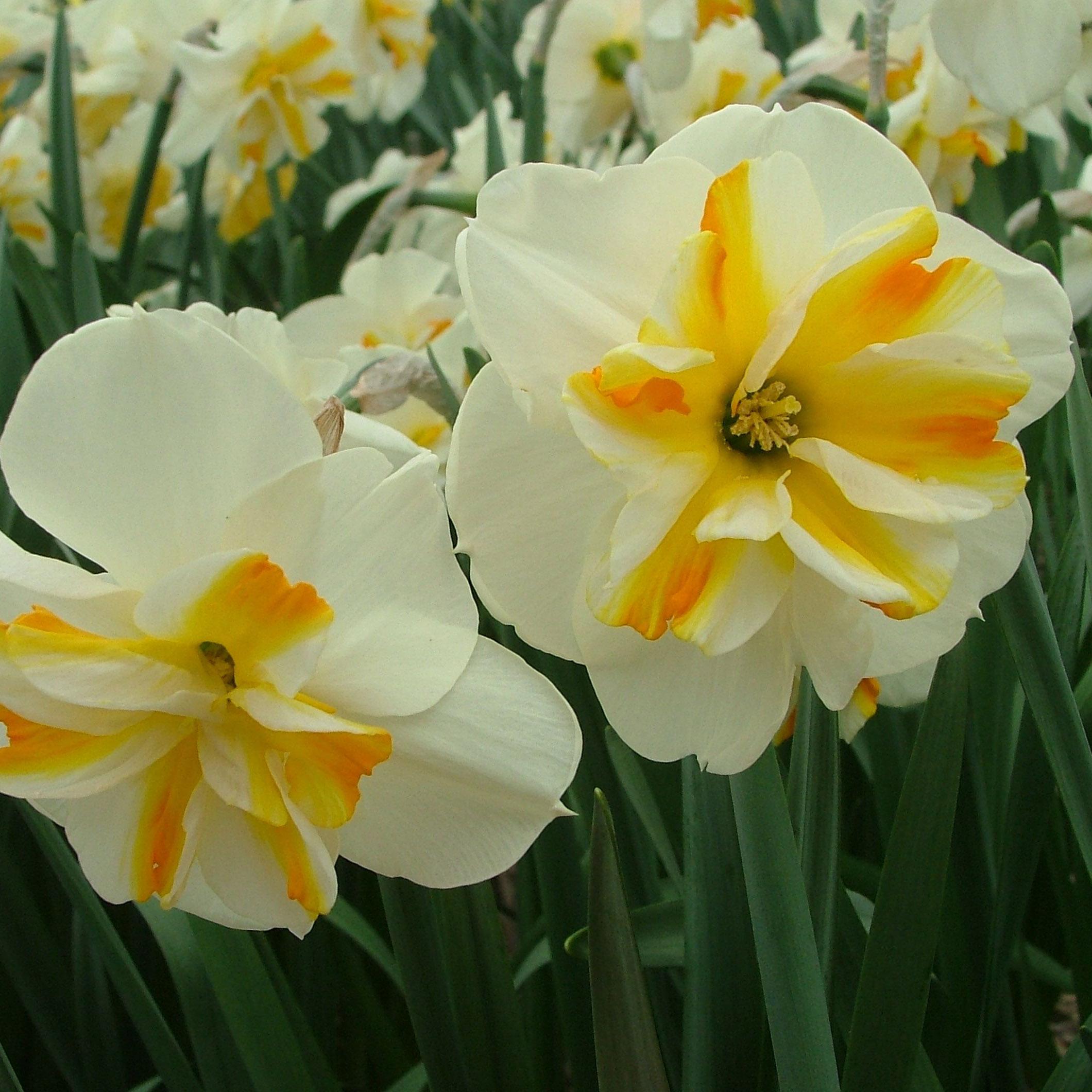 Daffodil Split Corona Sorbet