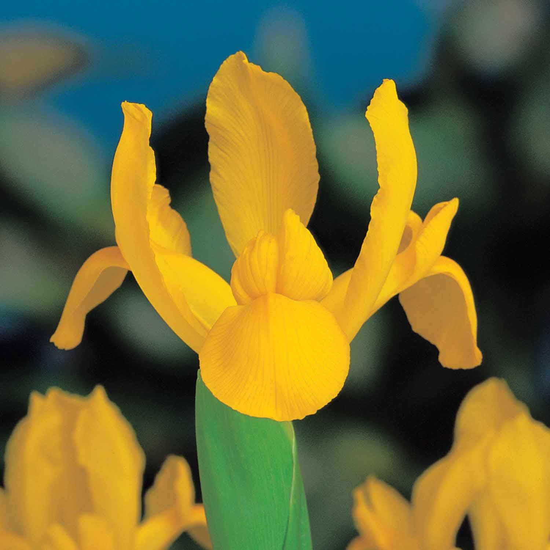 Dutch Iris Golden Beauty