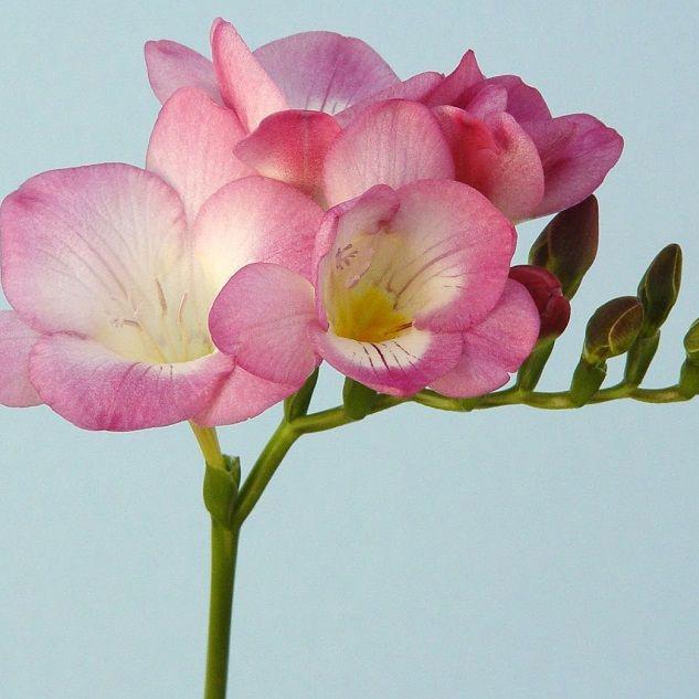Freesia Single Rose Marie