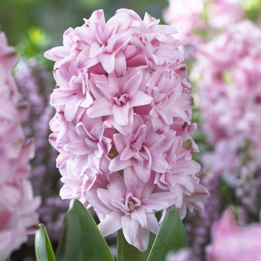 Hyacinth Double Prince of Love