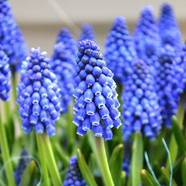 Hyacinth Grape
