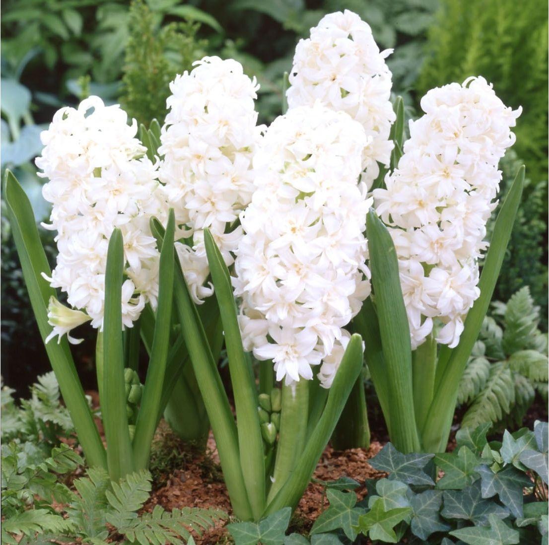 Hyacinth Snow Crystal