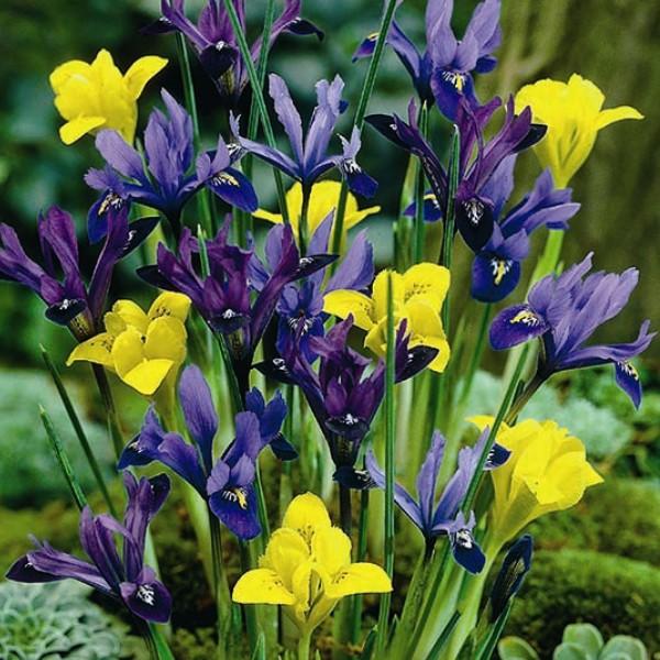 Iris Reticulata Mixed