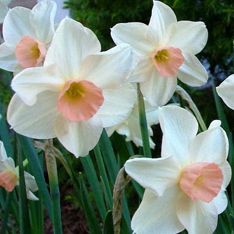 Miniature Daffodil Bellsong