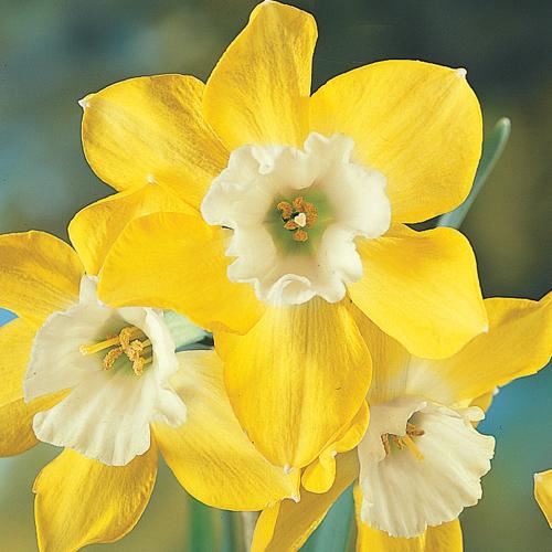 Miniature Daffodil Dickcissel