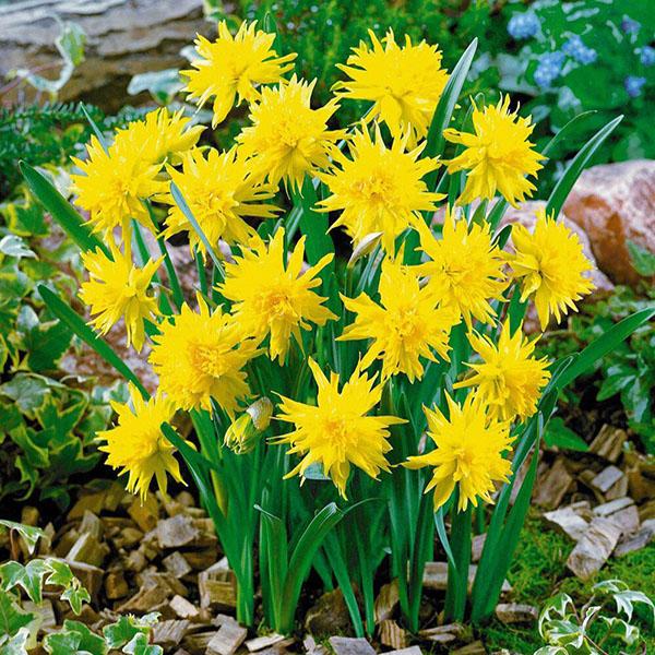 Miniature Daffodil Rip Van Winkle