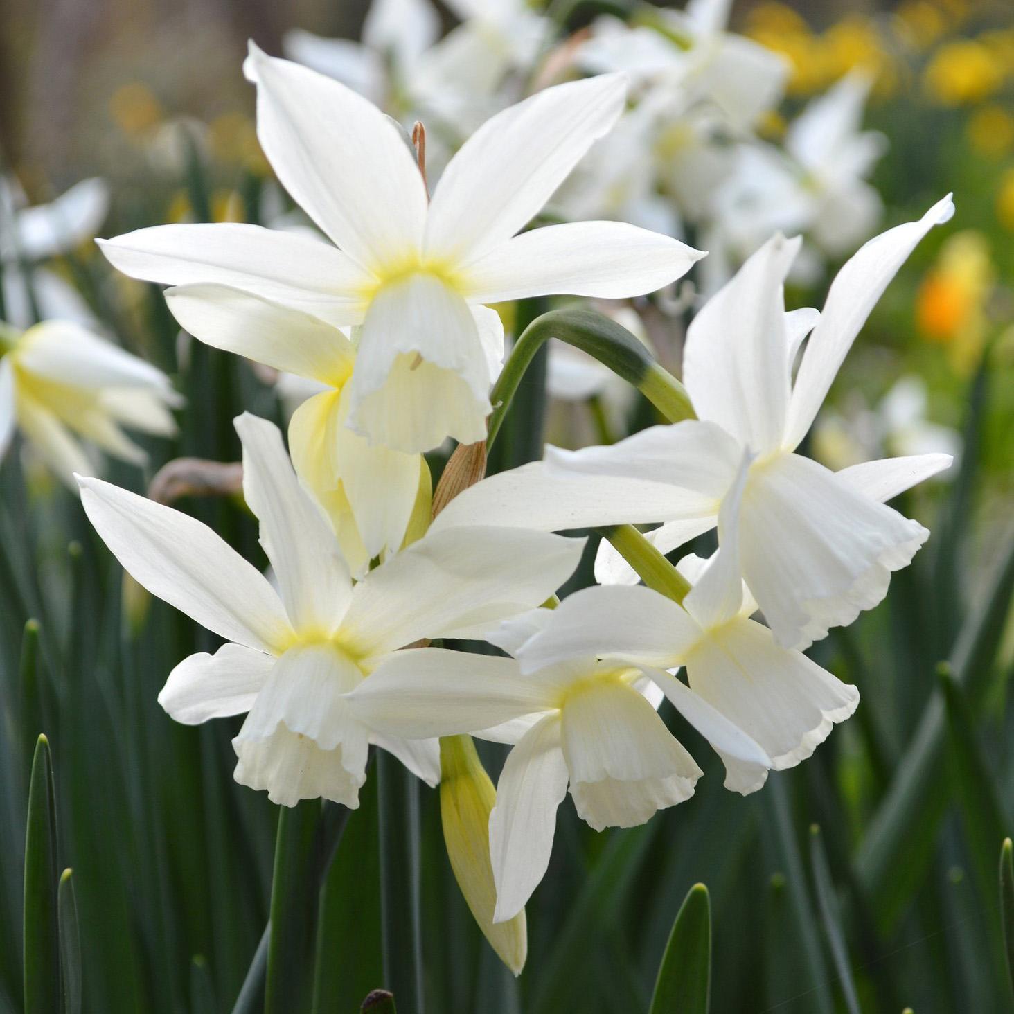 Miniature Daffodil Thalia